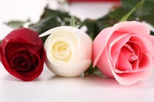 3214-tropicana-rose