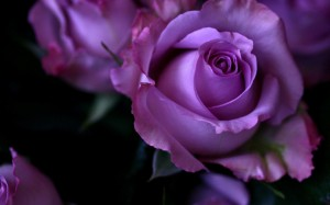 hd-wallpapers-purple-roses-wallpaper-nature-background-2880x1800-wallpaper